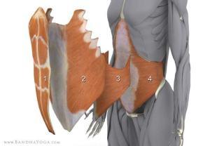 Trasverso segnalato dal numero 4, il muscolo più profondo